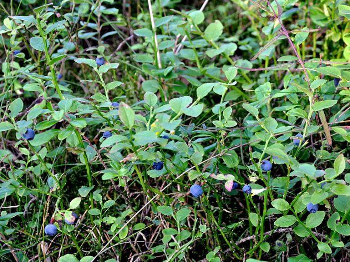 Porte Vaccinium myrtillus L.