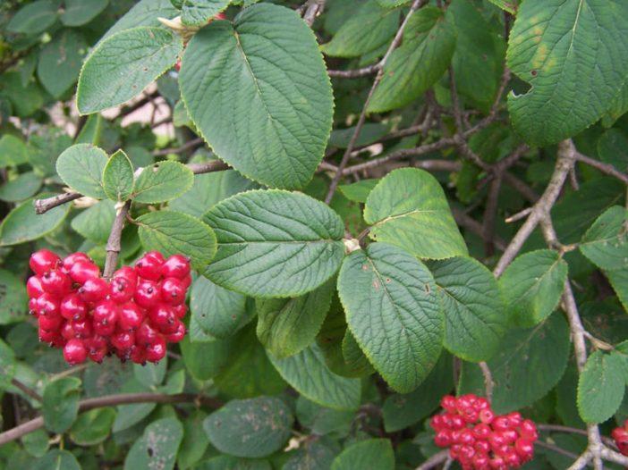 Fructificación Viburnum lantana L.