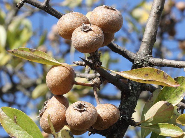 Fructificación Pyrus spinosa Forssk.