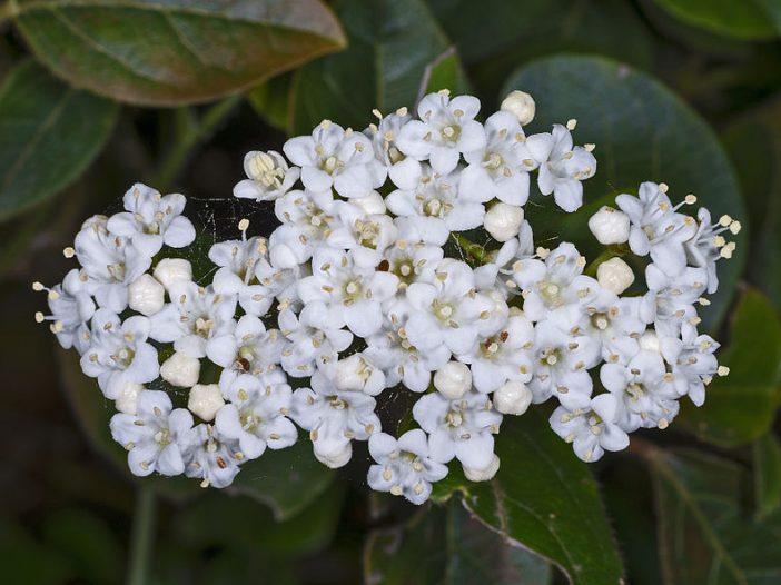 Floración Viburnum tinus L.