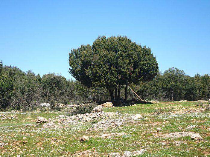 Porte Quercus cocciferaL.