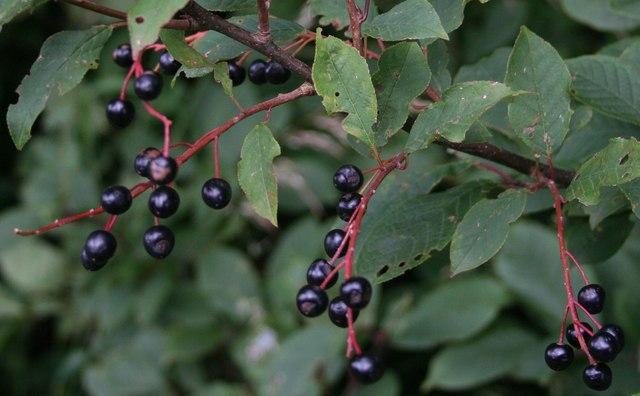 Fructificación Prunus padus L.