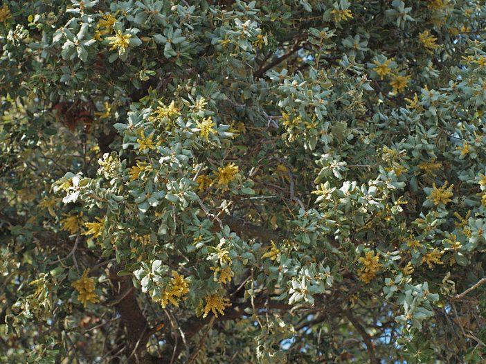 Floración Quercus ilex subsp. ballota (Desf.) Samp.