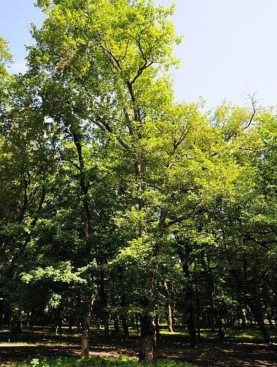 Porte Quercus petraea (Matt.) Liebl.
