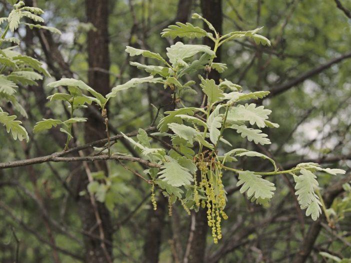 Floración Quercus pyrenaica Willd.