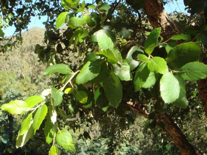 Hojas Quercus suber L.