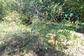 Porte Prunus ramburii Boiss.