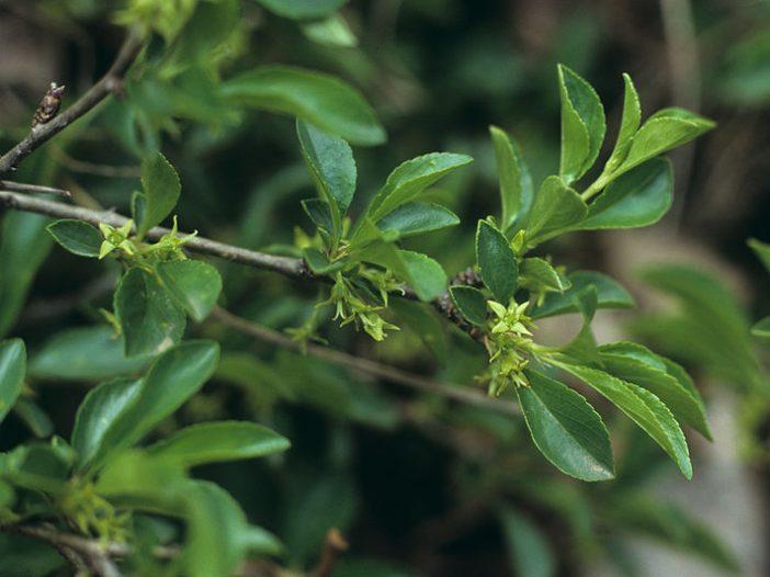 Hojas Rhamnus saxatilis Jacq.