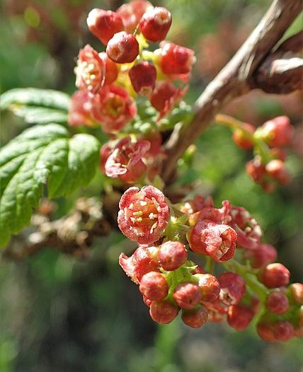 Flores Ribes petraeum Wulfen