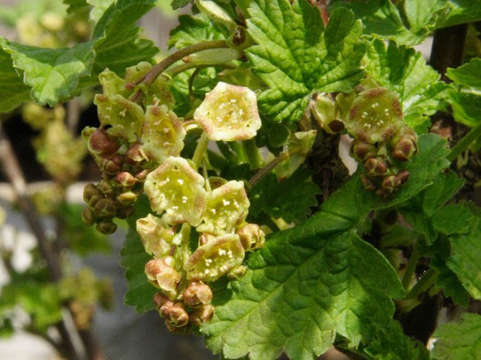 Fructificación Ribes rubrum L.