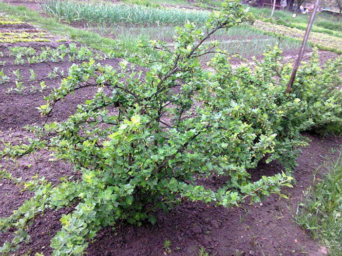 Porte Ribes uva-crispa L.