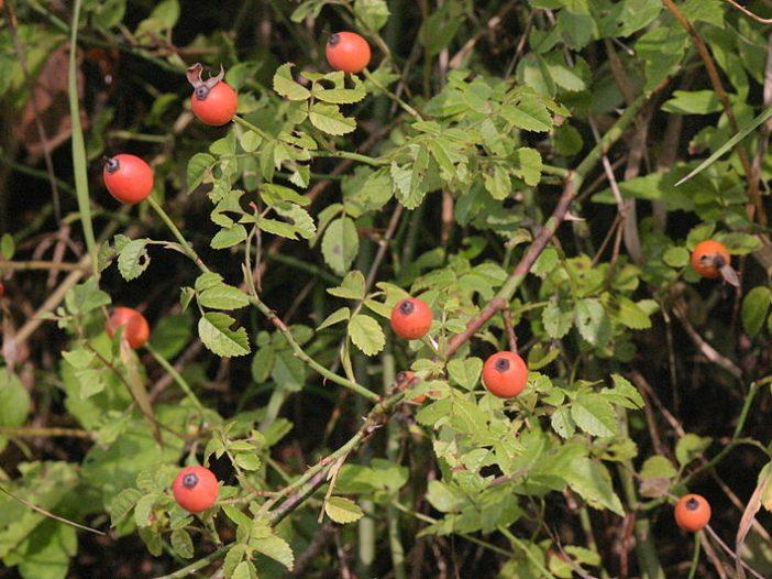 Fructificación Rosa arvensis Huds.