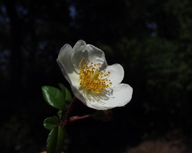 Flor Rosa sempervirens L.