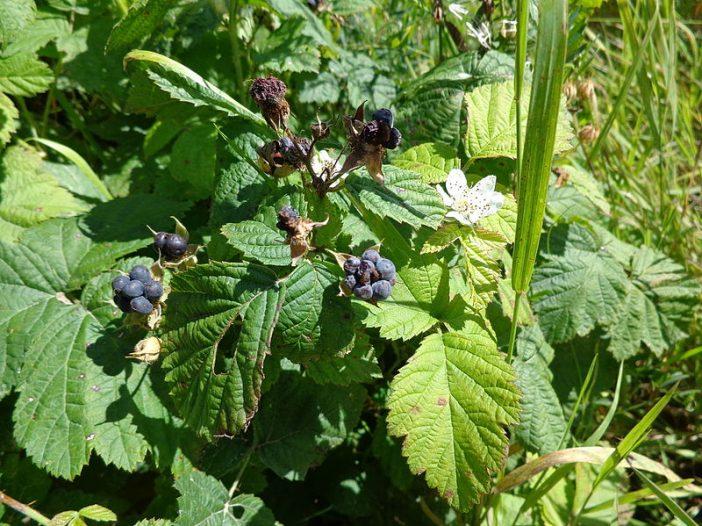 Porte Rubus caesius L.
