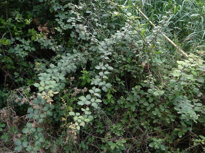 Porte Rubus ulmifolius Schott