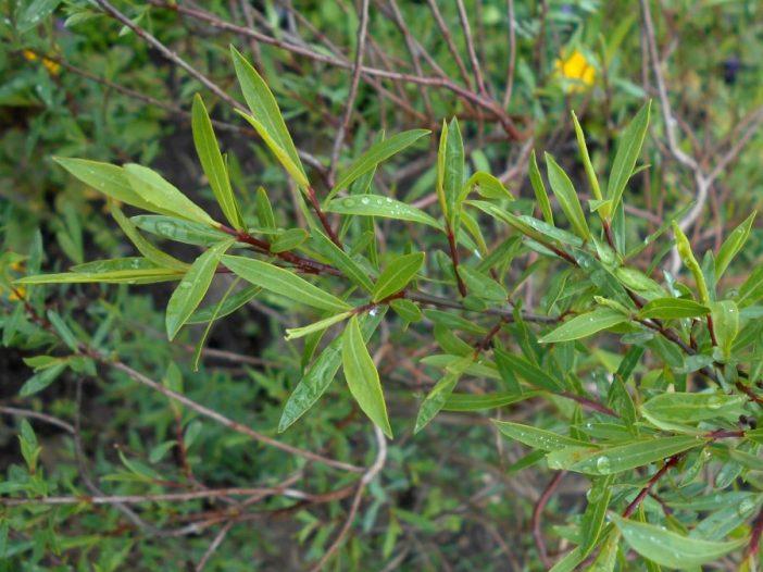 Hojas Salix purpurea L.