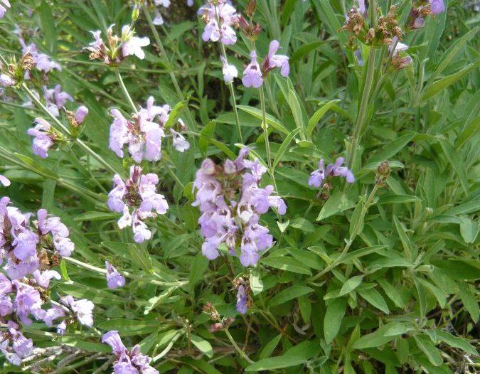Flores Salvia lavandulifolia Vahl