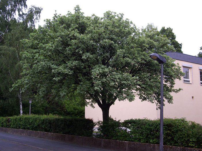 Porte Sorbus aria (L.) Crantz.