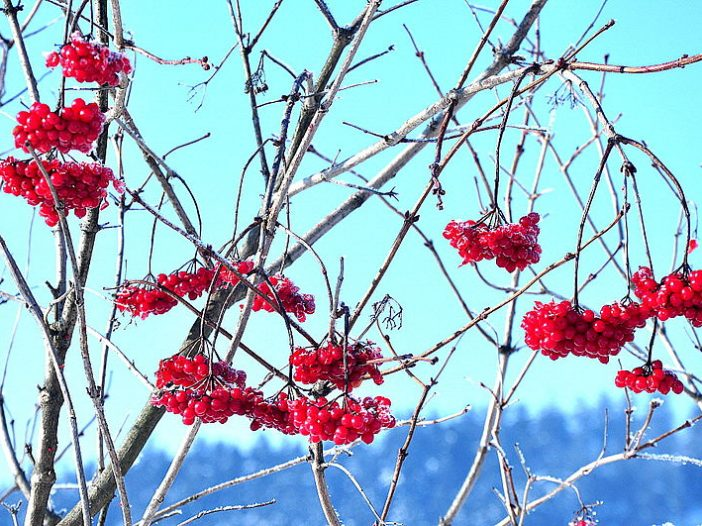 fructificación Viburnum opulus L.