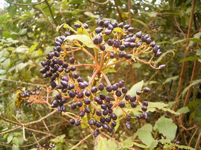 Fructificación Viburnum rigidum Vent.