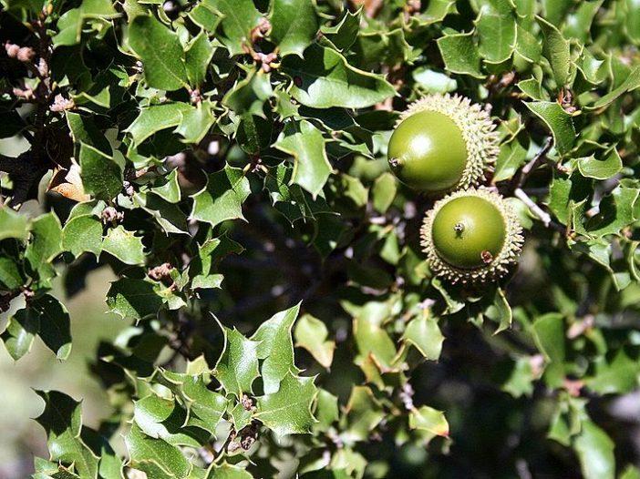 Fructificación Quercus cocciferaL.