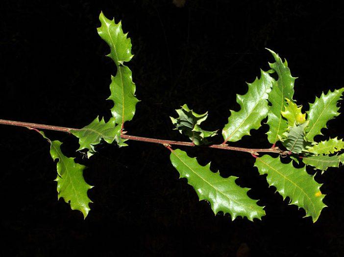 Hojas Quercus faginea Lam.