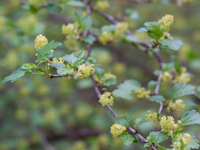 Floración Ribes alpinumL.
