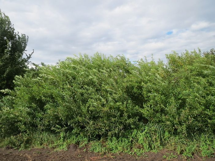 Porte Salix purpurea L.