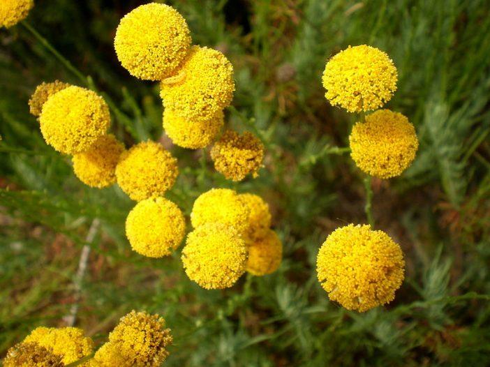 Flor Santolina rosmarinifolia L.