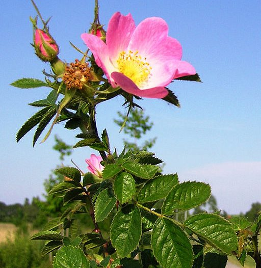 Floración Rosa rubiginosa L.