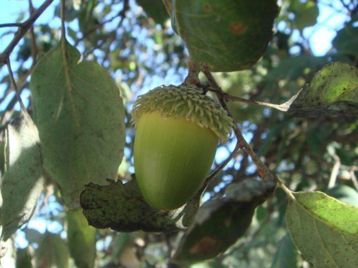 Fructificación Quercus suber L.