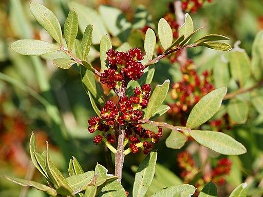 Floración Pistacia lentiscus L.