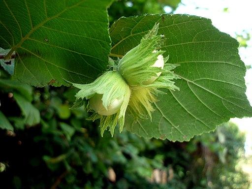 Flor femenina Corylus avellana L.