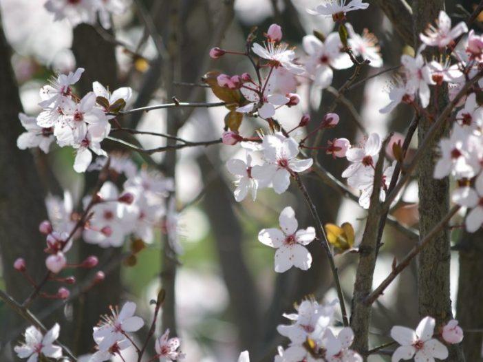 Floración Prunus dulcis (Mill.) D.A.Webb