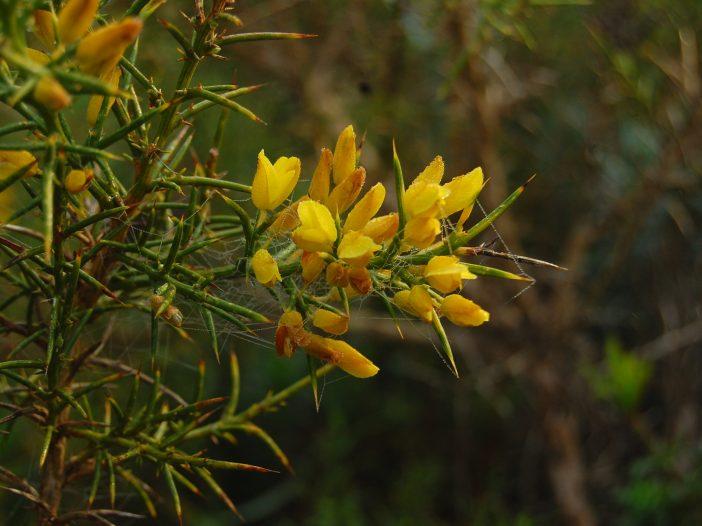 Ulex parviflorus Pourr.