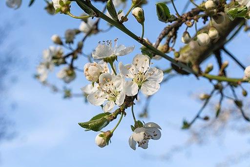 Floración Prunus insititia L.