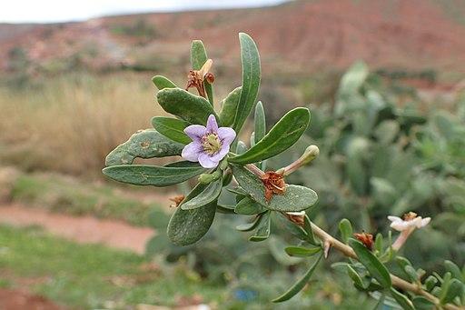 Flor Lycium intricatumBoiss.