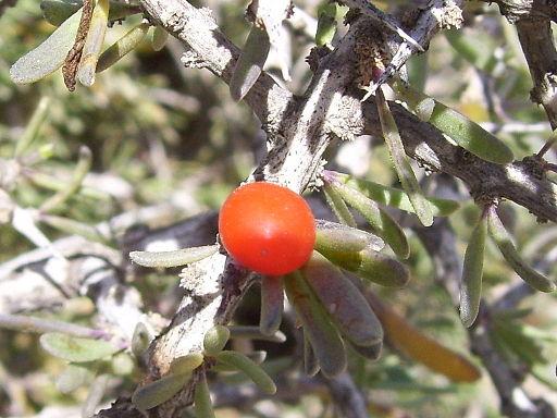 Fruto Lycium intricatumBoiss.