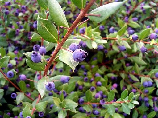 Fructificación Myrtus communis L.