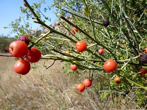 Fructificación Osyris alba L.