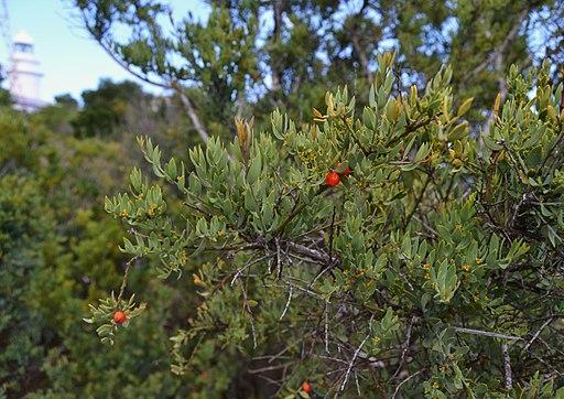 Osyris lanceolata Hochst. & Steud.