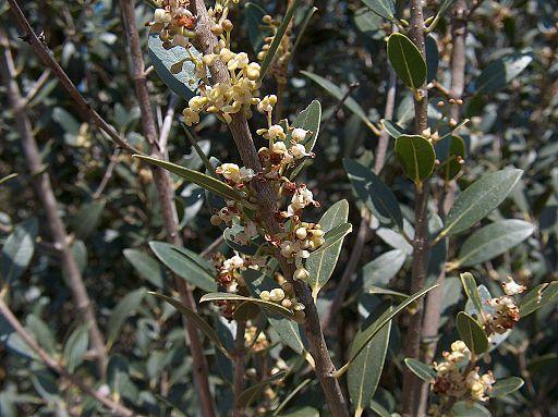Phillyrea latifolia L.
