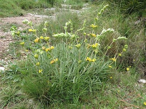 Phlomis lychnitis L.