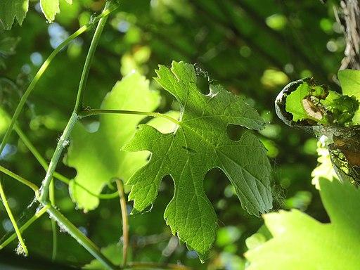 Vitis vinifera subsp. sylvestris (C.C.Gmelin) Hegi