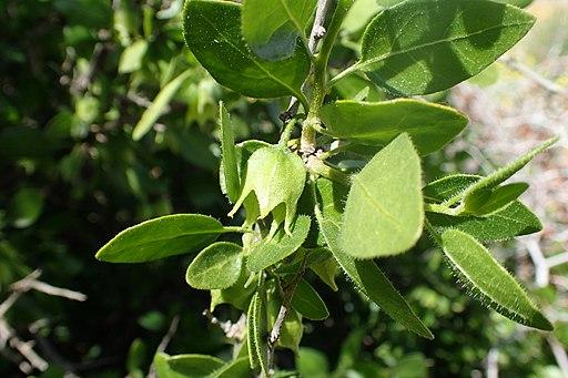 Withania frutescens Pauq.
