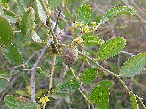Floración y fructificación de Ziziphus lotus Lam.