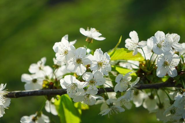 Floración Prunus avium (L.) L.