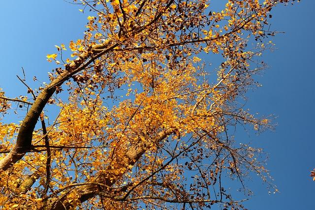 Pérdida de hojas Populus nigra L.