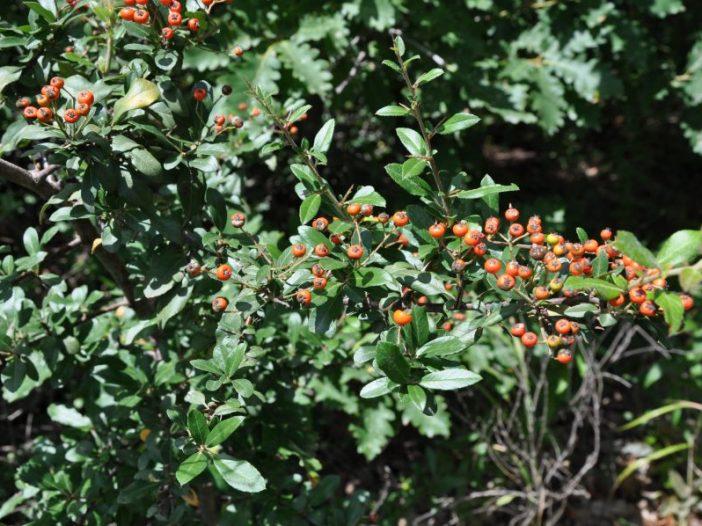 Porte Cotoneaster integerrimus