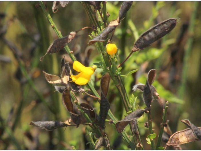 Fructificación Cytisus scoparius